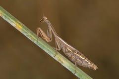 Portrati of a Mantis Royalty Free Stock Photo