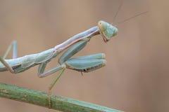Portrati of a Mantis Stock Photo