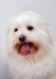 Portratit av en vit hund med långt hår royaltyfri fotografi