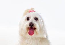 Portratit av en vit hund med långt hår och en råttsvans royaltyfri fotografi