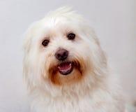 Portratit d'un chien blanc avec de longs cheveux Photographie stock
