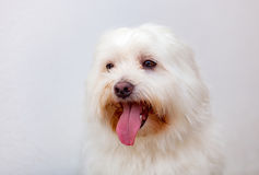 Portratit of a white dog with long hair. Maltese bichon Royalty Free Stock Images