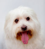 Portratit of a white dog with long hair. Maltese bichon Stock Image