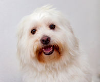 Portratit of a white dog with long hair. Maltese bichon Stock Photography