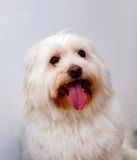 Portratit of a white dog with long hair. Maltese bichon Royalty Free Stock Photo