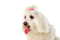 Portratit of a white dog with long hair and a pigtail. Portratit of a white dog with a pigtail Maltese bichon Royalty Free Stock Photo