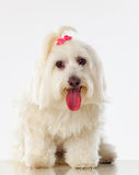 Portratit of a white dog with long hair and a pigtail. Portratit of a white dog with a pigtail Maltese bichon Stock Photography