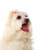 Portratit of a white dog with long hair and a pigtail. Portratit of a white dog with a pigtail Maltese bichon Stock Photos