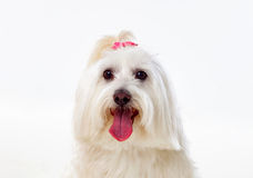 Portratit of a white dog with long hair and a pigtail. Portratit of a white dog with a pigtail Maltese bichon Royalty Free Stock Photography