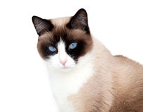 Portren of snowshoe cat, a new breed originating in the USA, isolated on white background Royalty Free Stock Images