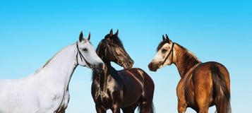 Portretów konie na tle niebieskie niebo Zdjęcie Stock