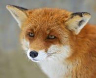 Portretów lisy Obrazy Stock