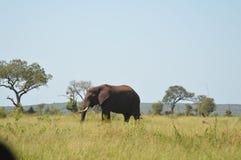 Portret śliczny męski byka słoń w Kruger parku narodowym obraz royalty free