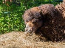 Portret één kameel donkere bruine kleur, het dier tipte zijn snuit Stock Foto