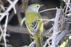 Portret Żółty Warbler Galapagos, Ekwador (,) Obrazy Royalty Free