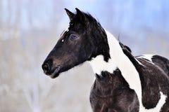 Portret łaciaty koń w zimie Zdjęcie Stock