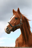 Portret ładny brown koń Obraz Stock