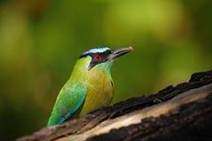 Portret ładny duży ptak Koronujący Motmot, Momotus momota, dzika natura, Belize zdjęcia royalty free