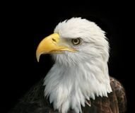 portret łysego orła Fotografia Royalty Free