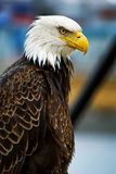 portret łysego orła Obraz Royalty Free