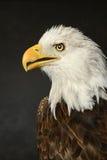 portret łysego orła Zdjęcie Royalty Free
