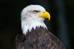 Portret Łysego orła Haliaeetus leucocephalus Obrazy Stock