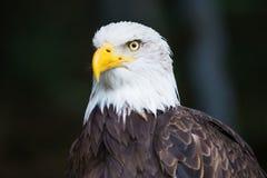 Portret Łysego orła Haliaeetus leucocephalus fotografia royalty free