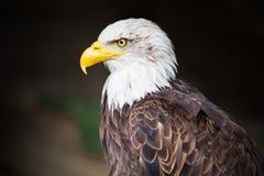 Portret Łysego orła Haliaeetus leucocephalus zdjęcie stock