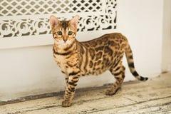 Portret śliczna Bengal kota pozycja na podłoga patrzeje kamerę w studiu Fotografia Royalty Free