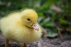 Portret ślicznego małego żółtego dziecka Muscovy kaczątka puszysty zakończenie up Zdjęcie Stock