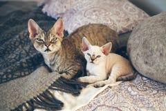 Portret śliczni i śmieszni Devon Rex koty Zdjęcie Stock