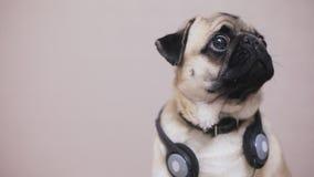 Portret śliczny, śmieszny mopsa pies w hełmofonach słucha muzykę, zdjęcie wideo