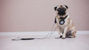 Portret śliczny, śmieszny mopsa pies w hełmofonach słucha muzykę, zbiory