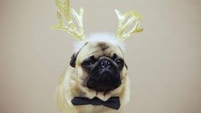 Portret śliczny śmieszny pies mopsa traken w nowego roku kostiumu, jeleni poroże zdjęcie wideo