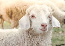 Portret śliczny biały kózki gospodarstwo rolne w wiosce obrazy stock