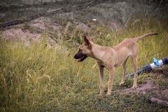 portret śliczny brąz pomarańcze pies, mieszany traken na zielonej trawie, patrzeje, słoneczny dzień parkowa czerwień w górę tło u fotografia stock