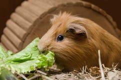 Portret śliczny czerwony królika doświadczalnego łasowania sałatki liść Obrazy Stock