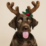 Portret śliczny Labrador Retriever szczeniak jest ubranym Bożenarodzeniową reniferową kapitałkę obraz royalty free