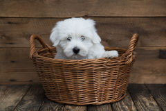 Portret: Śliczny mały dziecko pies - oryginalna Bawełna De Tulear obraz royalty free