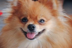 Portret śliczny niemiecki spitz psa zbliżenie Obrazy Stock