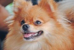 Portret śliczny niemiecki spitz psa zbliżenie Zdjęcie Stock