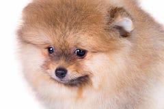 Portret śliczny Pomorski szczeniaka zakończenie fotografia royalty free