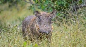 Portret śliczny pospolity Warthog lub Phacochoerus africanus w gemowej rezerwie zdjęcia stock