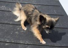 Chihuahua i zwinność obraz stock
