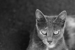 Portret śliczny szary kot obrazy stock