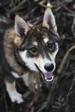 Portret śliczny szczęśliwy siberian laik Obrazy Royalty Free