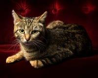 Portret śliczny tabby kota lying on the beach na czerwonej aksamitnej leżance Obraz Stock