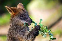 Portret śliczny wallaby je róży gałąź obrazy royalty free