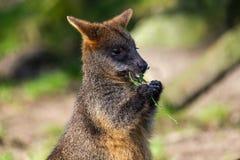 Portret śliczny wallaby je róży gałąź zdjęcie royalty free