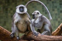 Portret śmieszna Vervet małpa od Afryka ` s dżungli Zdjęcie Stock